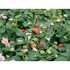 Fragaria Deep Rose