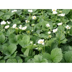 Fragaria White