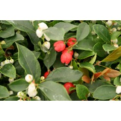 Gaultheria Proc. Red Baron