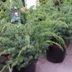 Juniperus Chin. Blue Alps