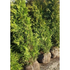 Thuja Occidentalis Smaragt