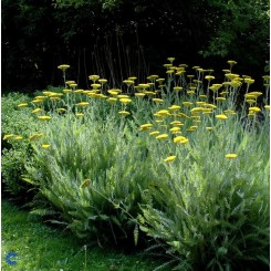 Achillea fill Coranation Gold