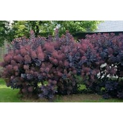 Cotinus Gog. Royal Purple