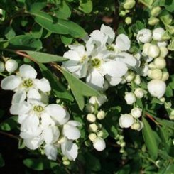Exochorda The Bride