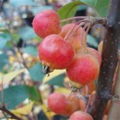 Malus Hyb. Evereste