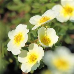 Potentilla Frut. Limelight