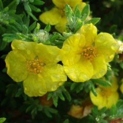 Potentilla Fruticosa Long Acre