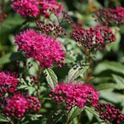 Spiraea Bumalda Anthony Waterer