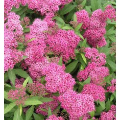 Spiraea bumalba Anthony Waterer