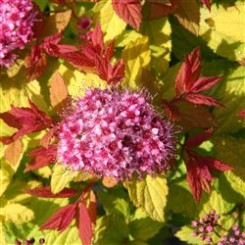 Spiraea Japonica Magic Carpet.