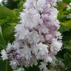 Syringa Vulg. Katherine Havemeyer