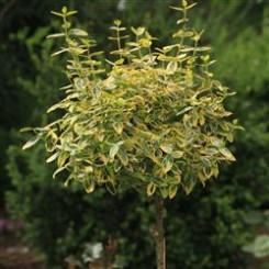 Euonymus Fort. Emerald Gold