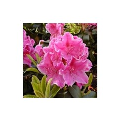 Rhododendron Claudine