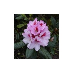 Rhododendron Diadem