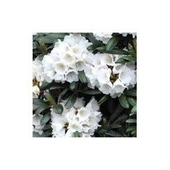Rhododendron Edelweis