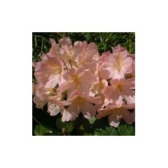 Rhododendron Percy Wieseman
