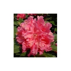 Rhododendron Dr. H.C.Dresselhuys