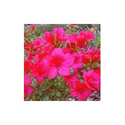 Azalea Littlle Red
